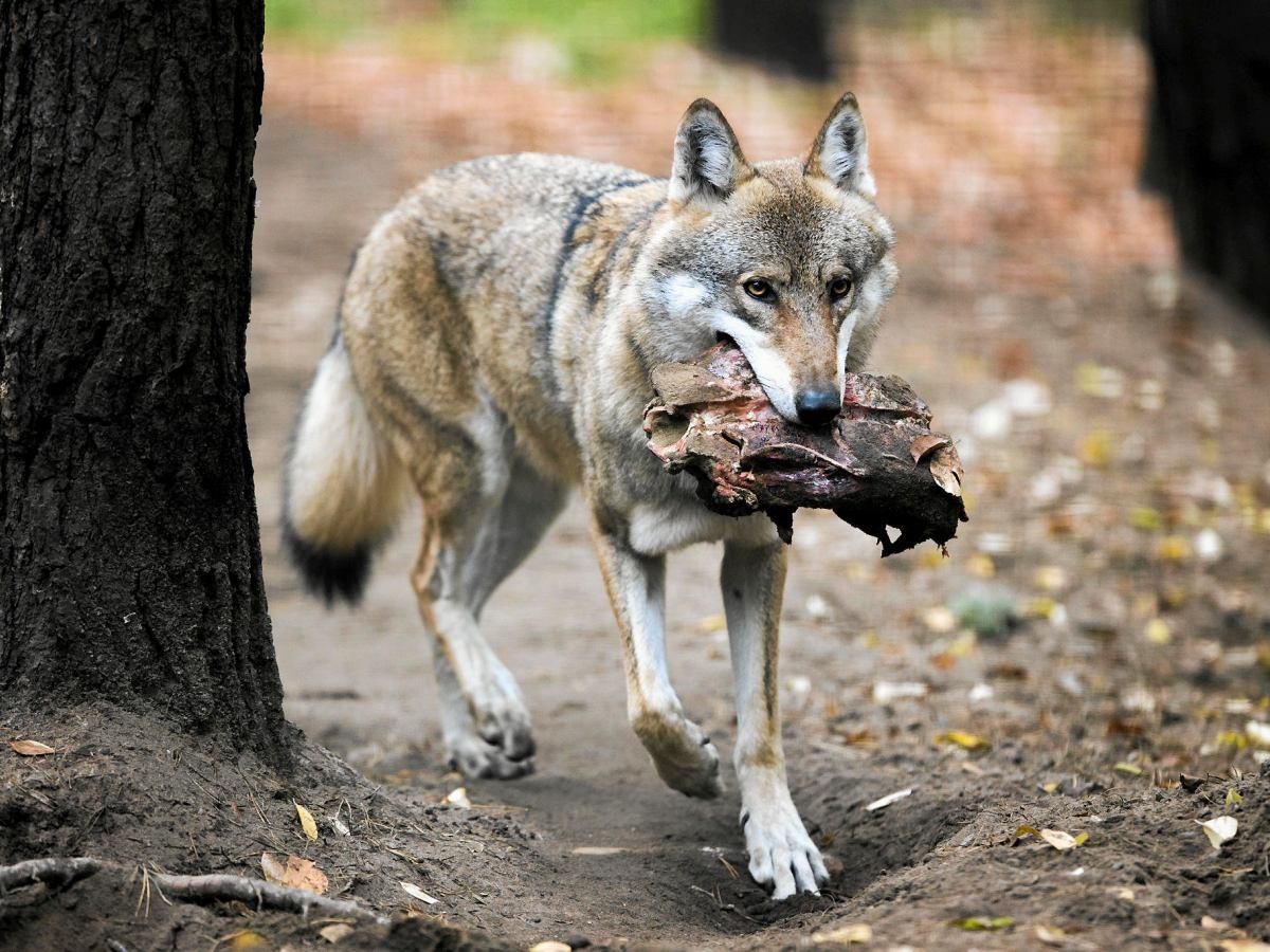 Spotkanie z wilkiem – co robić?